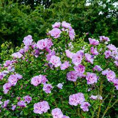 Gefüllter Garten-Hibiskus, rosa