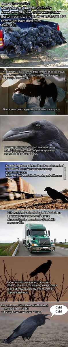Alarming death of crows