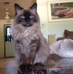Seal Mink Ragdoll Cat
