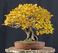 European Beech Bonsai Tree - Fagus sylvatica