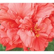Find 70mm Hibiscus Mrs George Davis at Bunnings Warehouse. Visit your local store for the widest range of garden products.