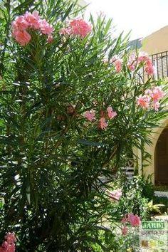 Size of oleander: when and how? All tips for growing shrubs - Dido Flintiff Garden Sink, Potager Garden, Garden Shrubs, Balcony Garden, Gemüseanbau In Kübeln, Backyard Trees, Garden Online, Fall Planters, Container Gardening Vegetables
