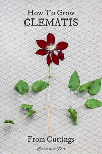 Clematis Vines from Cuttings Grow more of your favorite clematis vine using this step-by-step propagation tutorial. Take cuttings and grow.Grow more of your favorite clematis vine using this step-by-step propagation tutorial. Take cuttings and grow. New Vines, Clematis Vine, Clematis Plants, Clematis Varieties, Free Plants, Growing Plants, Dream Garden, Lawn And Garden, Spring Garden