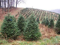 Mom thinks we should start a Christmas Tree Farm, This will be my board of ideas and tips