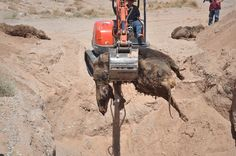 Report: Bundy Family Unearths BLM Mass Cattle Grave