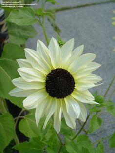 Planted these once.  They are beautiful and happy :) Sunflower 'Italian White'  Helianthus annuus