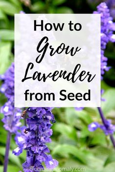 Did you know that you can grow lavender indoors or outdoors? Check out tips for the best way to grow all kinds of lavender plants in your garden. Click on the pin to learn how to grow lavender from seed. #growlavender #howtogrowlavender #bestwaytogrowlavender #growlavenderinpots Lavender Plants, Dried Lavender Flowers, Growing Lavender, Lavender Sachets, Growing Flowers, Love The Earth, Growing Seeds, Garden Seeds