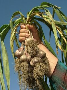 How to grow Garlic (and why you should). Garlic is easy to grow, is indispensable to a wide range of cuisines, and discourages pests and diseases. All in all, it could be the most important plant in your garden. During its early stages of growth, garlic needs cool temperatures and is not harmed by frost or light freezing, but it requires plenty of sun later for good bulb development.