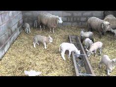 Happy Lamb Spring Dance