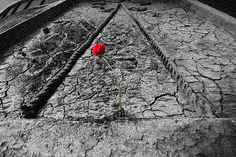 https://flic.kr/p/E87LLv | valentine rose over drought of love | the dedication of st valentine becomes the cats and dogs raining in the desert planet of love .. next earth becomes a virgin heaven ....  Copyright :Abdul Malek Babul FBPS . Cell:( +880) 01715298747 & 01837805350 E mail : babul.photopassion@gmail.com bimboo.babul@yahoo.com www.flickr.com/photos/55321771@N08