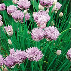 Herb, Chives OG Catalog #1243A 	(Allium schoenoprasum) Delicate onion-flavored foliage is good for fresh eating or cooking, excess freezes w...