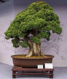 Bonsai. I'll say it...giant broccoli.
