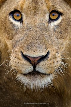 Young lion staring at the camera