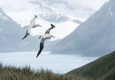 Pair of wandering albatrosses flying above grassy hill, with snowy. Cute Baby Photos, Paint Photography, Drama, Sea Birds, Antarctica, Nature Animals, Disney Art, Cute Wallpapers, Daydream