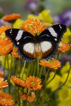 Hypolimnas dexithea butterfly