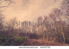 Forest in Denmark with birch trees in autumn