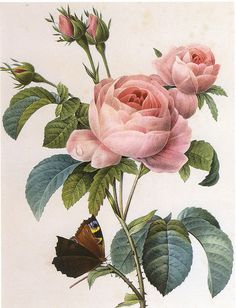 Centifolia Rose by Pierre-Joseph Redoute from Choix des plus Belles Fleurs, 1827. Redoute was the official court artist to Queen Marie Antoinette and lived between 1759 and 1840