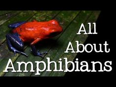 All About Amphibians: Tadpoles, Frogs, and Salamanders - Freeschool - YouTube