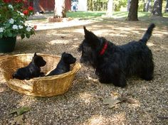 scottish terrier and baby puppies by MCalderon