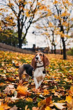 Autumn Dog Photography. Syksyinen koirakuvaus. #dog #petdog #doglove #dogpic #dogs #dogphotography #dogpicture #koira #autumndog #koiravalokuvaus #koirakuvaus #dogpets #photodog #basset #bassetartesiennormand