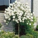 rungollinen lumipalloheisi on miniatyyripuu, joka pysyy pienenä, kukkii kauniisti ja on paljaanakin koristeellinen.
