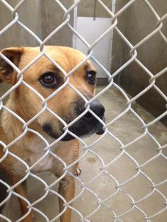 OWNER SURRENDER!!! Boxer/Shepherd mix female 1-2 years old Kennel A25 AVAILABLE NOW!! ***$51 to adopt and save a life  Located at Odessa, Texas Animal Control.