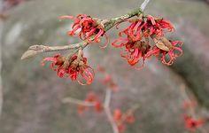 trollhassel - blommar rött vintertid