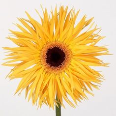 Gerbera Chiquita is a pretty Yellow cut flower. It is available wholesale in Batches of 50 stems. This flower is quite unique in its appearance and will enhance all modern floristry arrangements. Suitable for wedding floristry. May Flowers, Amazing Flowers, Fresh Flowers, Yellow Flowers, Wedding Flower Arrangements, Wedding Flowers, Florist Supplies, April Wedding, Astilbe