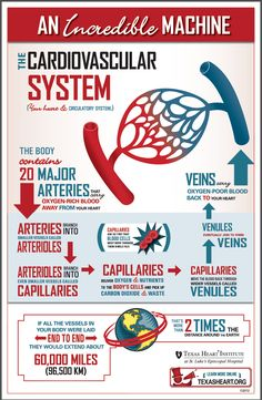 Fun facts about the cardiovascular system.