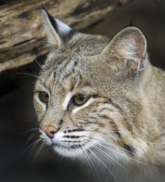 WASHINGTON (AP) — A bobcat that escaped from its enclosure at the National Zoo is perfectly capable of surviving in the wild and would find plenty to eat in a leafy park nearby, zoo officials said Monday.  Bobcats look a lot like house cats, only bigger and with short, stubby tails.  The zoo has closed the area around the bobcat exhibit to visitors in hopes that Ollie will get hungry and come back.  The zoo provides the animal with a mostly meat-based diet and does not feed her live prey.