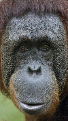 55 Best Orang Utans Images Monkeys Orangutans Baby Orangutan