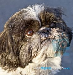 Shih Tzu ... close up