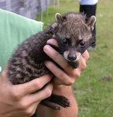 Baby Chon Oakm Civet Cat