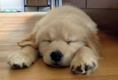 Bosn the Golden Retriever -- pinned using *Goodies* - from luvmygoodies.com