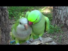 "(CUTE VIDEO) JoJo the Indian Ringneck is in love with Buddy the Quaker Parrot. Buddy is a little shy and when he gets excited he shakes his head up and down. That's where they get their names from, ""quaking""."