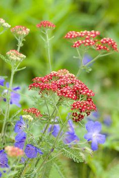 Anti-slakken planten - Duizendblad Maak je tuin slakken-proof door er planten in te zetten waar ze niet van houden, bijvoorbeeld één van deze:  Akelei (Aquilegia) Kattenkruid (Nepeta) Wolfsmelk (Euphorbia) Schildpadbloem (Penstamon) Duizendknoop (Persicaria amplexicaulis) Ooievaarsbek (Geranium) Duizendblad (Achiliea millefolius) Bellenplant (Fuchsia) Hosta tokudama