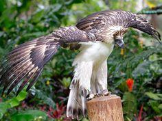 Monkey Eating Eagle   Philippine monkey-eating eagle