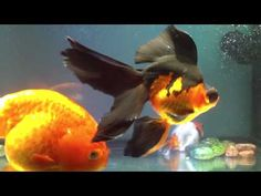 giant ranchu and telescope goldfish! sooo beautiful.