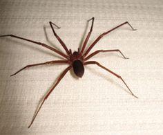Picadas de aranhas podem causar dermatites e choques anafiláticos, não corra esse risco! Entre em contato com a combate: (21)2637-2760 http://www.combateriodejaneiro.com.br/