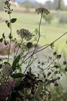 Queen Anne's Lace cow parsley wild flowers herbs