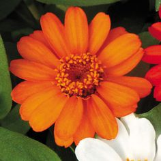 AAS 1999 Gold Medal Winner Zinnia 'Profusion Orange' seeds are available at Park Seed