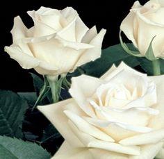 Escimo - White Rose