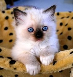 cute! (The best part of the Ragdoll is the Birman in them) -- Ragdolls are part Birman, Himalayan and Maine Coon
