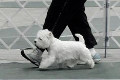 Many volunteers to walk all the doggies daily Sick Dog, West Highland White, West Highland Terrier, White Terrier, Number Two, White Dogs, Love Memes, Rainbow Bridge, Shelter Dogs