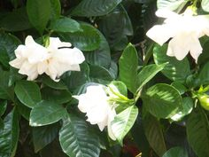 The wonderful fragrance of my Gardenia's wafting by while sitting on the front porch always makes me happy.