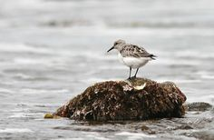 6 Tips For Photographing Shorebirds