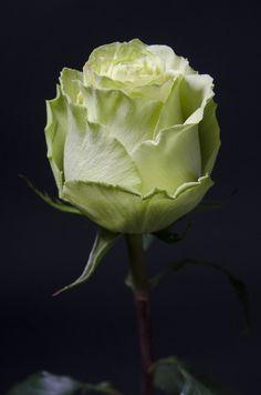LEMONADE -  54  Eden Roses Ecuador