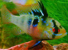 http://aquamegapedia.ru/3/akvariumnaya-rybka-apistogramma-ramirezi-ramiresa-ramireza-tsihlida-babochka-hromis-babochka-soderzhanie-i-uhod
