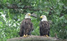 Image detail for -Red Wing Images - Vacation Pictures of Red Wing, MN - TripAdvisor Red Pictures, Vacation Pictures, Eagles, Bald Eagle, Minnesota, Trip Advisor, Red Wing, Birds, Iowa