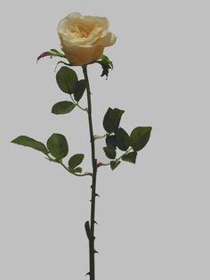 Linda rosa amarela, com 1 botão semi-aberto médio, qualidade extra, compostas de Tecido, Plástico e Arame, com 68cm de altura